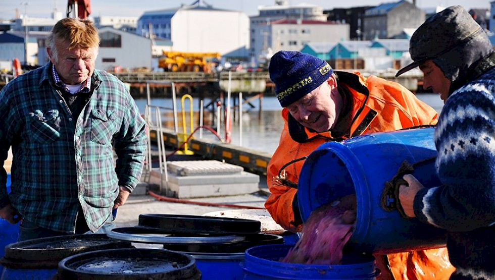 Icelandic fishermen process and clean their catch in Reykjavik. Photo: PavelSvoboda | Shutterstock