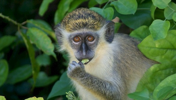 The green monkey, originally from Africa. Photo: Barry haynes , CC BY-SA